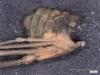 http://mczbase.mcz.harvard.edu/specimen_images/invertebrates/large/14657_Ceratobunus_annulatus_10.jpg