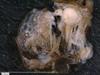 http://mczbase.mcz.harvard.edu/specimen_images/invertebrates/large/14657_Ceratobunus_annulatus_11.jpg