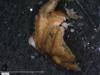 http://mczbase.mcz.harvard.edu/specimen_images/invertebrates/large/14657_Ceratobunus_annulatus_16.jpg