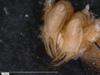 http://mczbase.mcz.harvard.edu/specimen_images/invertebrates/large/14657_Ceratobunus_annulatus_4.jpg