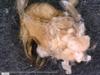 http://mczbase.mcz.harvard.edu/specimen_images/invertebrates/large/14657_Ceratobunus_annulatus_7.jpg