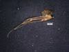http://mczbase.mcz.harvard.edu/specimen_images/invertebrates/large/14657_Ceratobunus_annulatus_8.jpg