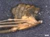 http://mczbase.mcz.harvard.edu/specimen_images/invertebrates/large/14657_Ceratobunus_annulatus_9.jpg