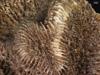 http://mczbase.mcz.harvard.edu/specimen_images/invertebrates/large/147145_Faviidae_sp_1.jpg