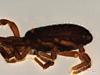 http://mczbase.mcz.harvard.edu/specimen_images/invertebrates/large/147378_Brasiligovea_afanostyla_2.jpg