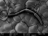 http://mczbase.mcz.harvard.edu/specimen_images/invertebrates/large/147378_Brasiligovea_afanostyla_34.jpg