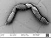 http://mczbase.mcz.harvard.edu/specimen_images/invertebrates/large/147380_Brasiligovea_yacambui_14.jpg