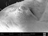 http://mczbase.mcz.harvard.edu/specimen_images/invertebrates/large/147380_Brasiligovea_yacambui_42.jpg