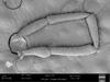 http://mczbase.mcz.harvard.edu/specimen_images/invertebrates/large/147380_Brasiligovea_yacambui_43.jpg