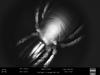 http://mczbase.mcz.harvard.edu/specimen_images/invertebrates/large/147380_Brasiligovea_yacambui_5.jpg