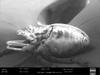 http://mczbase.mcz.harvard.edu/specimen_images/invertebrates/large/147380_Brasiligovea_yacambui_50.jpg