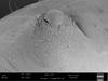 http://mczbase.mcz.harvard.edu/specimen_images/invertebrates/large/147380_Brasiligovea_yacambui_7.jpg