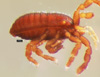 http://mczbase.mcz.harvard.edu/specimen_images/invertebrates/large/147381_Metagovea_matapi_2.jpg