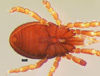 http://mczbase.mcz.harvard.edu/specimen_images/invertebrates/large/147381_Metagovea_matapi_3.jpg