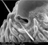 http://mczbase.mcz.harvard.edu/specimen_images/invertebrates/large/147381_Metagovea_matapi_34.jpg
