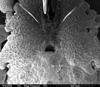 http://mczbase.mcz.harvard.edu/specimen_images/invertebrates/large/147381_Metagovea_matapi_41.jpg
