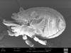 http://mczbase.mcz.harvard.edu/specimen_images/invertebrates/large/147381_Metagovea_matapi_6.jpg