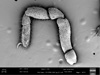 http://mczbase.mcz.harvard.edu/specimen_images/invertebrates/large/147382_Neogovea_branstetteri_16.jpg