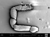 http://mczbase.mcz.harvard.edu/specimen_images/invertebrates/large/147382_Neogovea_branstetteri_25.jpg