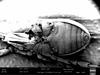 http://mczbase.mcz.harvard.edu/specimen_images/invertebrates/large/147382_Neogovea_branstetteri_4.jpg
