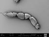 http://mczbase.mcz.harvard.edu/specimen_images/invertebrates/large/147384_Parogovia_sironoides_17.jpg