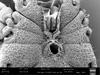 http://mczbase.mcz.harvard.edu/specimen_images/invertebrates/large/147384_Parogovia_sironoides_21.jpg