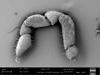 http://mczbase.mcz.harvard.edu/specimen_images/invertebrates/large/147384_Parogovia_sironoides_7.jpg