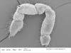 http://mczbase.mcz.harvard.edu/specimen_images/invertebrates/large/147386_Parogovia_putnami_7.jpg