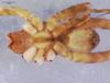 http://mczbase.mcz.harvard.edu/specimen_images/invertebrates/large/15867_Lycosa_algina_2.jpg