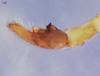 http://mczbase.mcz.harvard.edu/specimen_images/invertebrates/large/15867_Lycosa_algina_3.jpg