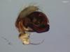 http://mczbase.mcz.harvard.edu/specimen_images/invertebrates/large/22725_Parawixia_porvenir_4.jpg