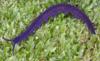 http://mczbase.mcz.harvard.edu/specimen_images/invertebrates/large/29205_Peripatoides_10.jpg