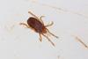 http://mczbase.mcz.harvard.edu/specimen_images/invertebrates/large/29209_Rakaia_collaris_2.jpg