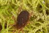 http://mczbase.mcz.harvard.edu/specimen_images/invertebrates/large/29210_Rakaia_florensis_22.jpg