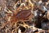 http://mczbase.mcz.harvard.edu/specimen_images/invertebrates/large/29212_Rakaia_magna_australis_14.jpg