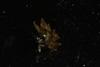 http://mczbase.mcz.harvard.edu/specimen_images/invertebrates/large/388937_Aplysiopsis_enteromorphae_1.jpg