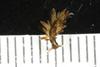 http://mczbase.mcz.harvard.edu/specimen_images/invertebrates/large/388937_Aplysiopsis_enteromorphae_4.jpg
