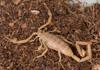 http://mczbase.mcz.harvard.edu/specimen_images/invertebrates/large/46910_Centuroides_sculpturatus_15.jpg