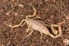 http://mczbase.mcz.harvard.edu/specimen_images/invertebrates/large/46910_Centuroides_sculpturatus_16.jpg