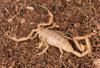 http://mczbase.mcz.harvard.edu/specimen_images/invertebrates/large/46910_Centuroides_sculpturatus_18.jpg