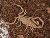 http://mczbase.mcz.harvard.edu/specimen_images/invertebrates/large/46910_Centuroides_sculpturatus_4.jpg