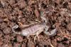 http://mczbase.mcz.harvard.edu/specimen_images/invertebrates/large/46939_Euscorpius_italicus_10.jpg