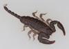 http://mczbase.mcz.harvard.edu/specimen_images/invertebrates/large/46943_Opisthacanthus_madagascariensis_10.jpg