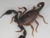 http://mczbase.mcz.harvard.edu/specimen_images/invertebrates/large/46961_Lurus_dekanum_9.jpg