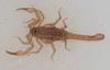 http://mczbase.mcz.harvard.edu/specimen_images/invertebrates/large/46969_Troglokhammouanus_steineri_4.jpg