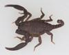 http://mczbase.mcz.harvard.edu/specimen_images/invertebrates/large/46984_Scorpiops_2.jpg