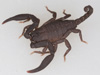 http://mczbase.mcz.harvard.edu/specimen_images/invertebrates/large/46984_Scorpiops_3.jpg