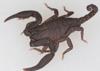 http://mczbase.mcz.harvard.edu/specimen_images/invertebrates/large/46984_Scorpiops_5.jpg