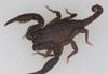 http://mczbase.mcz.harvard.edu/specimen_images/invertebrates/large/46984_Scorpiops_6.jpg