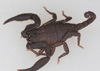 http://mczbase.mcz.harvard.edu/specimen_images/invertebrates/large/46984_Scorpiops_7.jpg